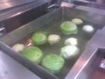 making gołąbki @ Polish food night @ St John Vianney College Seminary, Miami, FL